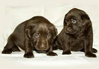Продаются щенки шоколадного лабрадора