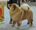 Всероссийская выставка, Краевой клуб служебного собаководства ДОСААФ_3