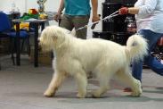 Выставка собак в Ставрополе_6